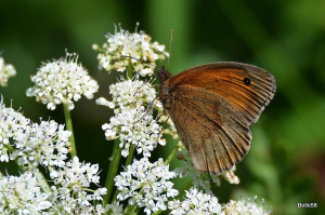 Meadow Brown Butterfly - probably a male